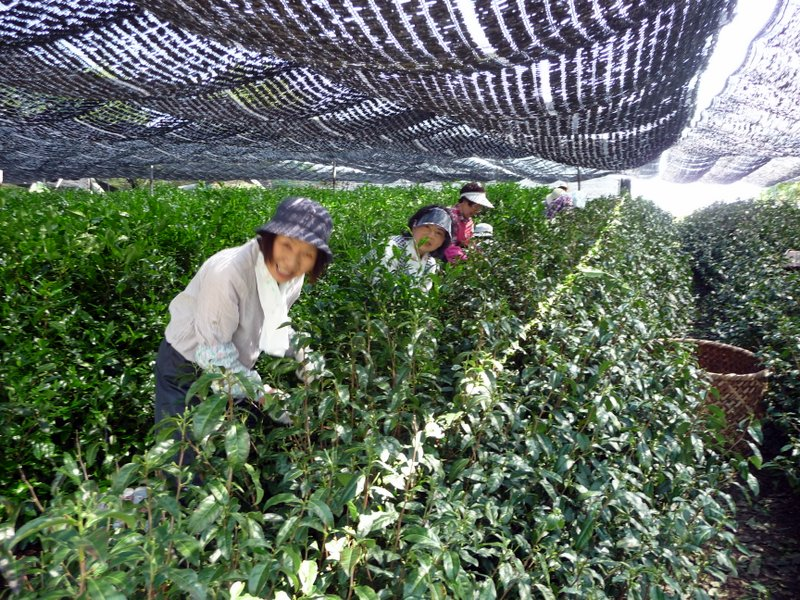 hand picking of Gyokuro