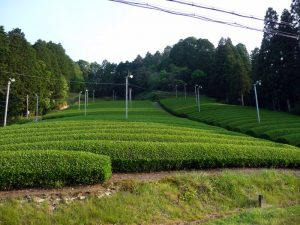 Uji field