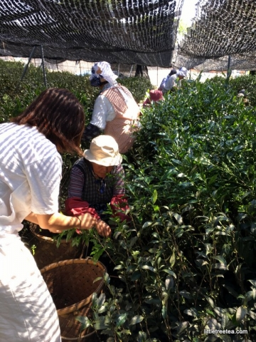 helping pick gyokuro